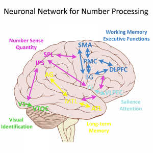 Quote for illustration: Number calculation is a demanding cognitive ability and is processed by a complex neuronal network. Kucian, K. (2016). Developmental Dyscalculia and the Brain. In D. B. Berch, D. Geary, & K. Mann Koepke (Eds.), Development of mathematical cognition: Neural substrates and genetic influences (Vol. 2, pp. 165-193). Amsterdam: Elsevier.